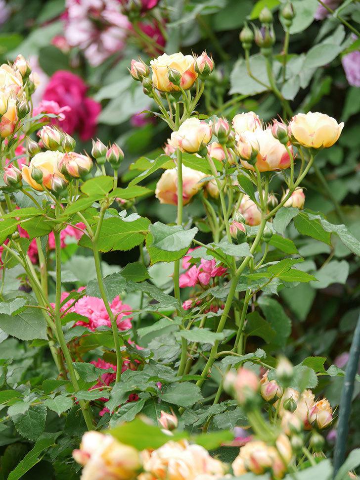 ラ・ドルチェ・ヴィータ(La Dolce Vita)の花が増えてきた。木立バラ。2021年-084.jpg