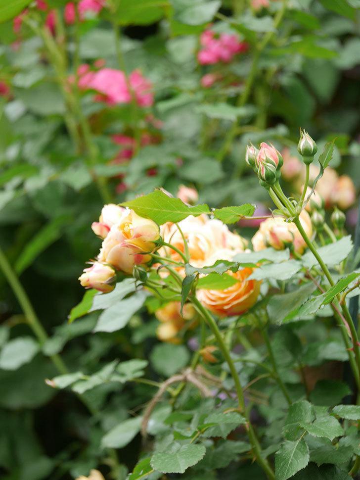 ラ・ドルチェ・ヴィータ(La Dolce Vita)の花が増えてきた。木立バラ。2021年-085.jpg