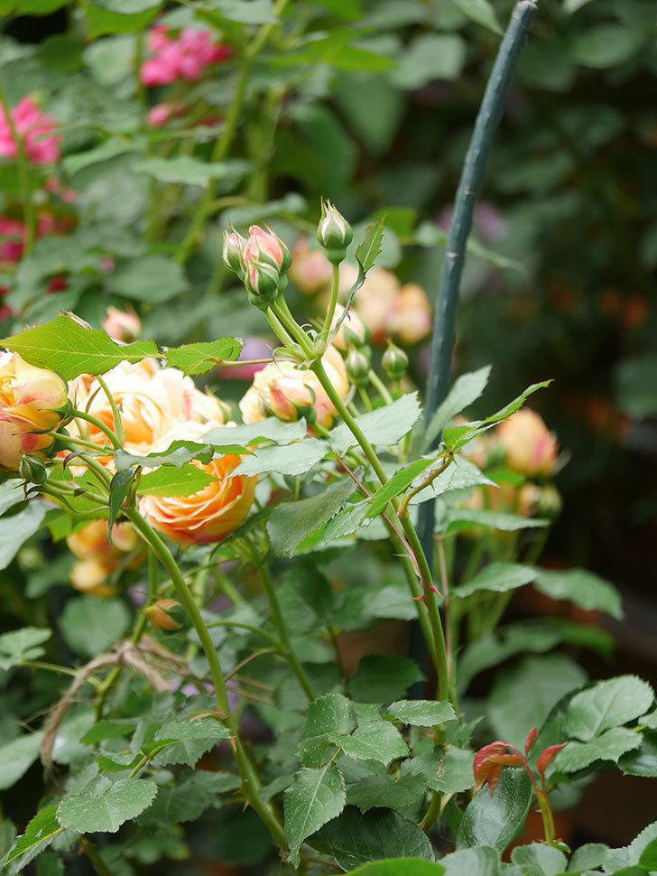 ラ・ドルチェ・ヴィータ(La Dolce Vita)の花が増えてきた。木立バラ。2021年-087.jpg