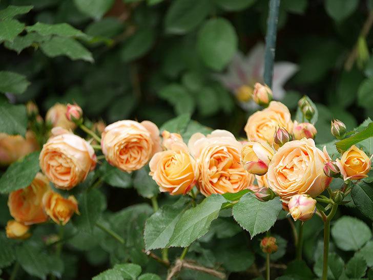 ラ・ドルチェ・ヴィータ(La Dolce Vita)の花が増えてきた。木立バラ。2021年-088.jpg
