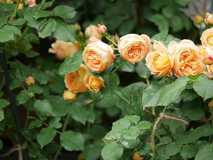 ラ・ドルチェ・ヴィータ(La Dolce Vita)の花が増えてきた。木立バラ。2021年-089.jpg