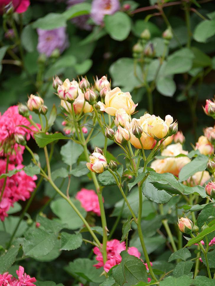 ラ・ドルチェ・ヴィータ(La Dolce Vita)の花が増えてきた。木立バラ。2021年-090.jpg