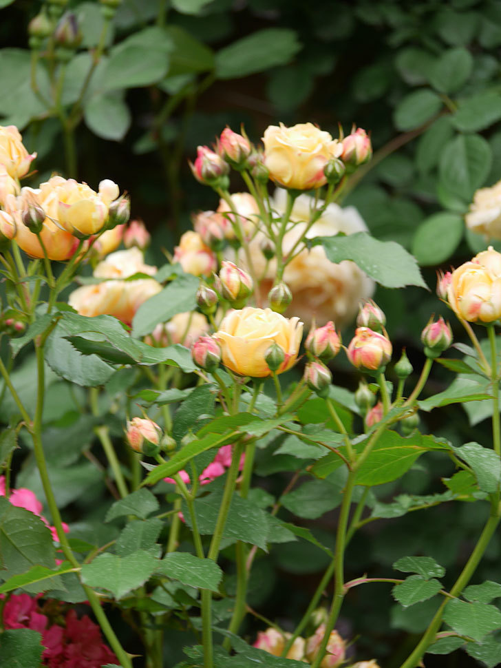 ラ・ドルチェ・ヴィータ(La Dolce Vita)の花が増えてきた。木立バラ。2021年-091.jpg