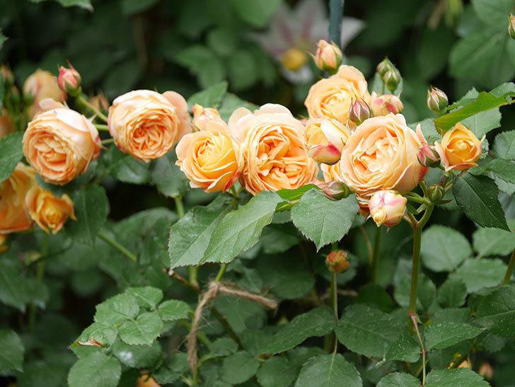 ラ・ドルチェ・ヴィータ(La Dolce Vita)の花が増えてきた。木立バラ。2021年-092.jpg