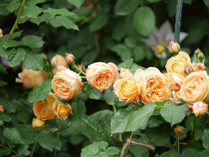 ラ・ドルチェ・ヴィータ(La Dolce Vita)の花が増えてきた。木立バラ。2021年-093.jpg
