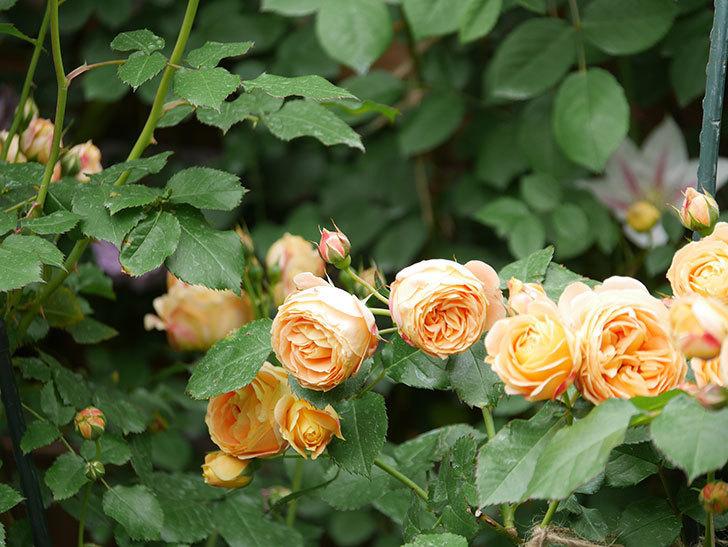 ラ・ドルチェ・ヴィータ(La Dolce Vita)の花が増えてきた。木立バラ。2021年-094.jpg