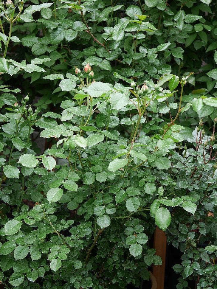 ラ・ドルチェ・ヴィータ(La Dolce Vita)の蕾が膨らんで来た。木立バラ。2021年-004.jpg