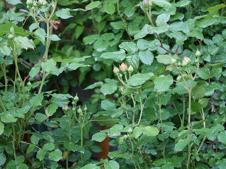 ラ・ドルチェ・ヴィータ(La Dolce Vita)の蕾が膨らんで来た。木立バラ。2021年-014.jpg