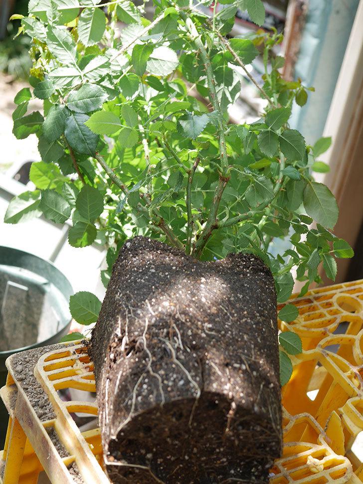 ラ・ドルチェ・ヴィータ(La Dolce Vita)を8号ロングスリット鉢に植え換えたラ。2020年-001.jpg