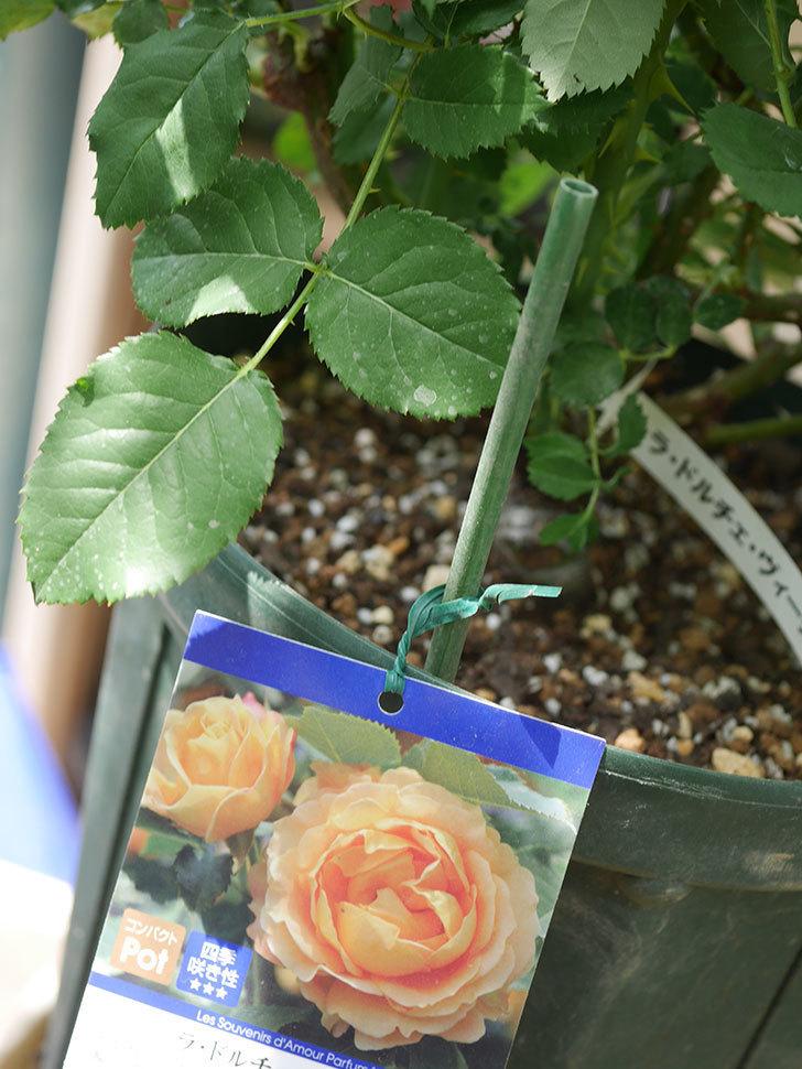 ラ・ドルチェ・ヴィータ(La Dolce Vita)を8号ロングスリット鉢に植え換えたラ。2020年-005.jpg