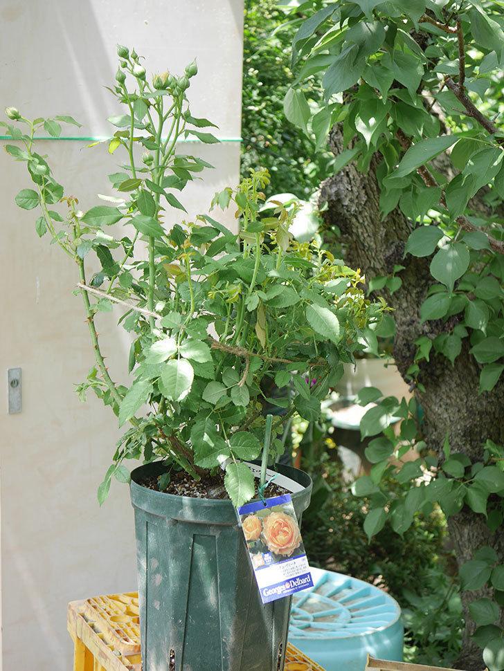 ラ・ドルチェ・ヴィータ(La Dolce Vita)を8号ロングスリット鉢に植え換えたラ。2020年-006.jpg