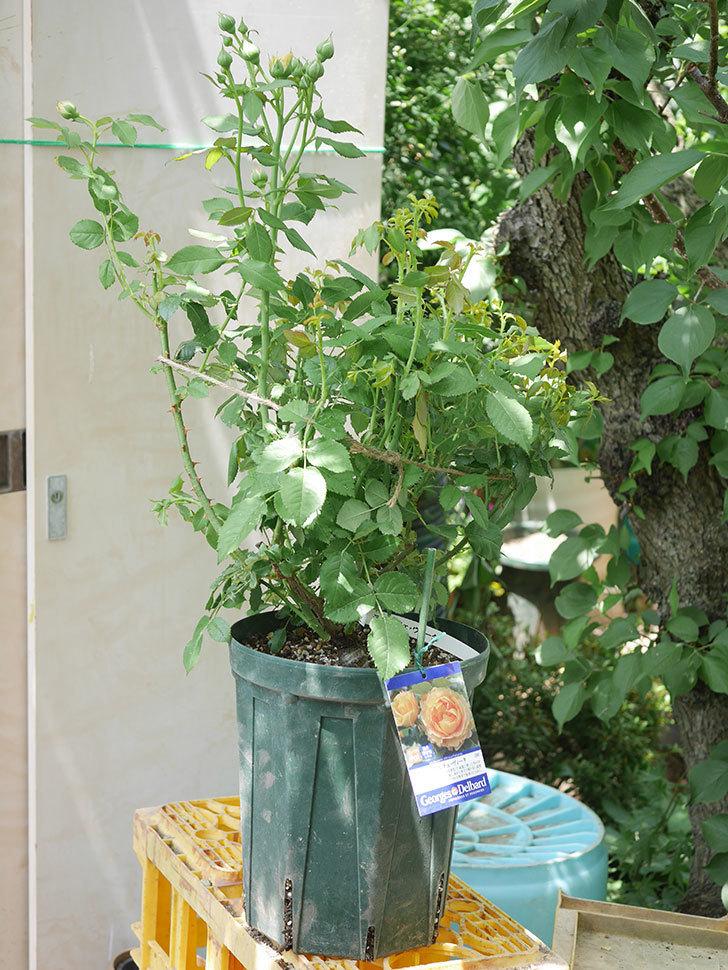 ラ・ドルチェ・ヴィータ(La Dolce Vita)を8号ロングスリット鉢に植え換えたラ。2020年-007.jpg