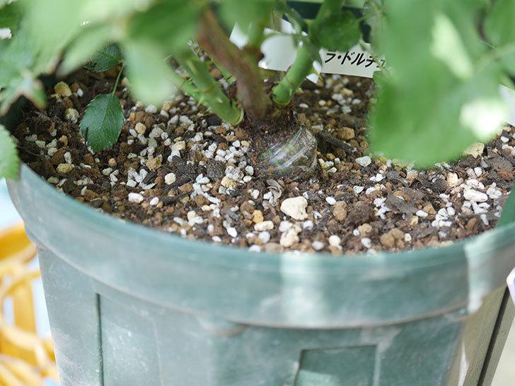 ラ・ドルチェ・ヴィータ(La Dolce Vita)を8号ロングスリット鉢に植え換えたラ。2020年-008.jpg