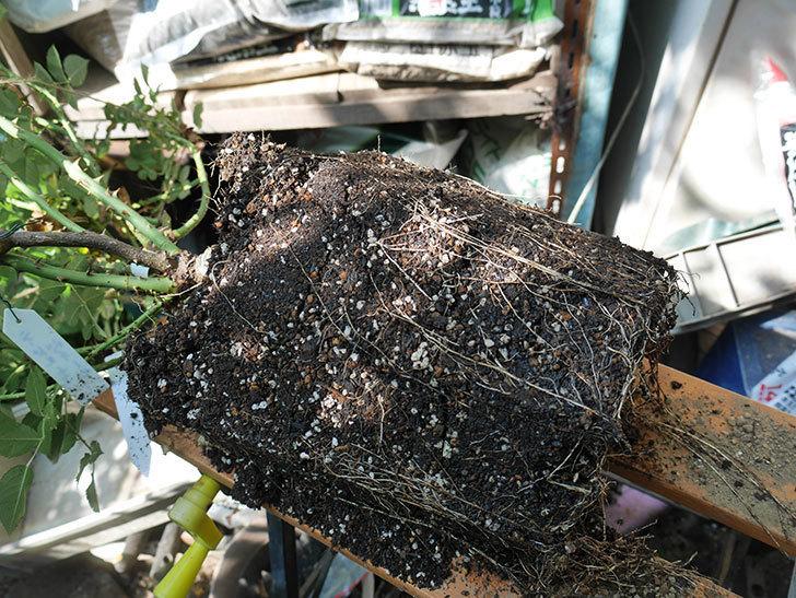 ラ・ドルチェ・ヴィータ(La Dolce Vita)をロゼアスクエア390型に植え換えた。木立バラ。2020年-003.jpg