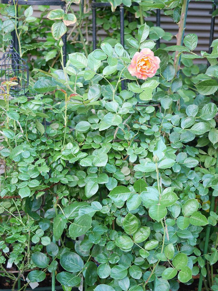 ラ・パリジェンヌ(La Parisienne)の2番花が咲いた。木立バラ。2021年-001.jpg