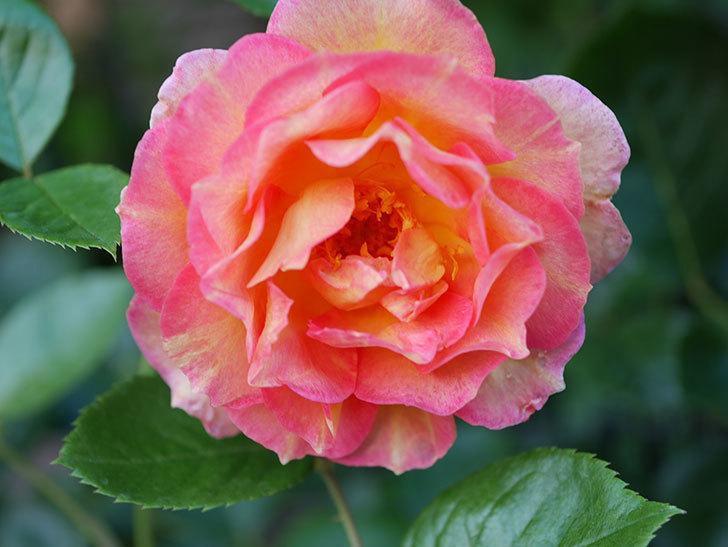 ラ・パリジェンヌ(La Parisienne)の2番花が咲いた。木立バラ。2021年-002.jpg