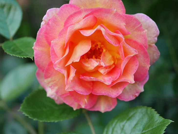 ラ・パリジェンヌ(La Parisienne)の2番花が咲いた。木立バラ。2021年-003.jpg