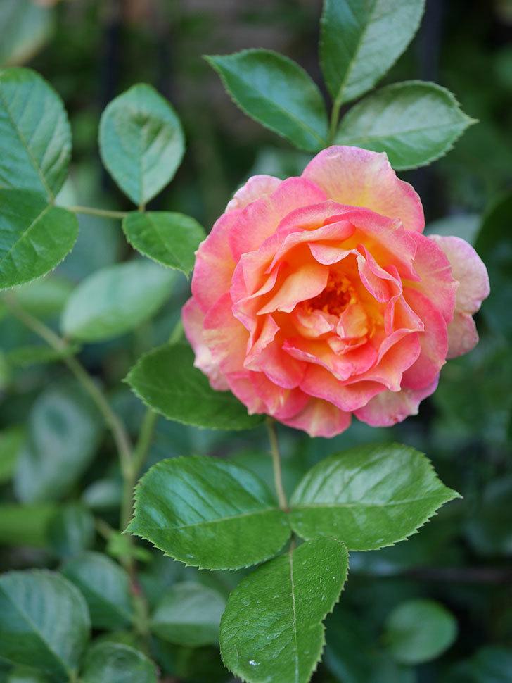 ラ・パリジェンヌ(La Parisienne)の2番花が咲いた。木立バラ。2021年-004.jpg