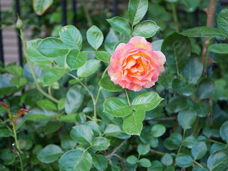ラ・パリジェンヌ(La Parisienne)の2番花が咲いた。木立バラ。2021年-006.jpg