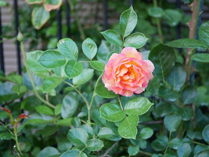ラ・パリジェンヌ(La Parisienne)の2番花が咲いた。木立バラ。2021年-007.jpg