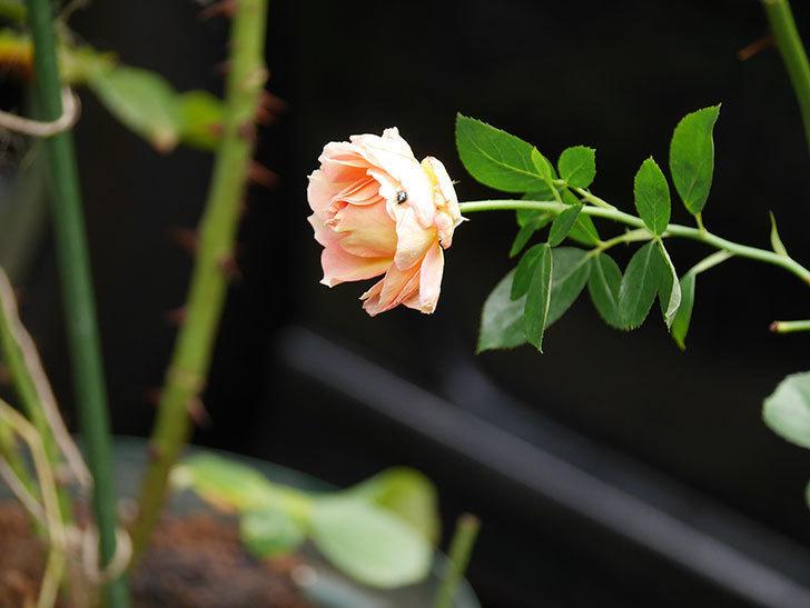 ラ・パリジェンヌ(La Parisienne)の新苗に秋花が咲いた。木立バラ。2020年-001.jpg