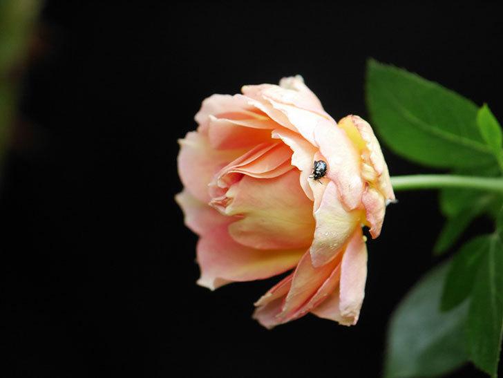 ラ・パリジェンヌ(La Parisienne)の新苗に秋花が咲いた。木立バラ。2020年-003.jpg