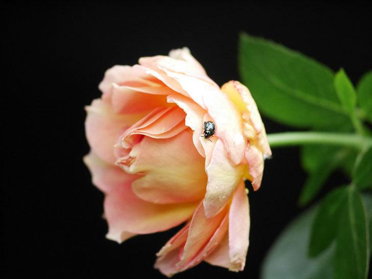 ラ・パリジェンヌ(La Parisienne)の新苗に秋花が咲いた。木立バラ。2020年-004.jpg