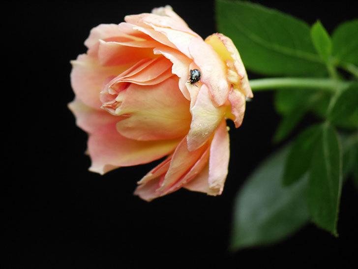 ラ・パリジェンヌ(La Parisienne)の新苗に秋花が咲いた。木立バラ。2020年-005.jpg