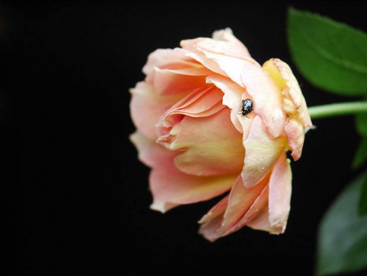 ラ・パリジェンヌ(La Parisienne)の新苗に秋花が咲いた。木立バラ。2020年-007.jpg