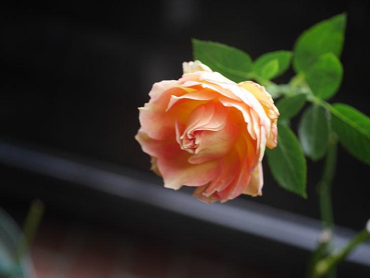 ラ・パリジェンヌ(La Parisienne)の新苗に秋花が咲いた。木立バラ。2020年-008.jpg