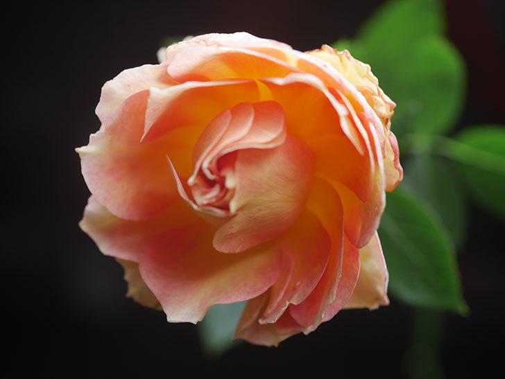 ラ・パリジェンヌ(La Parisienne)の新苗に秋花が咲いた。木立バラ。2020年-010.jpg