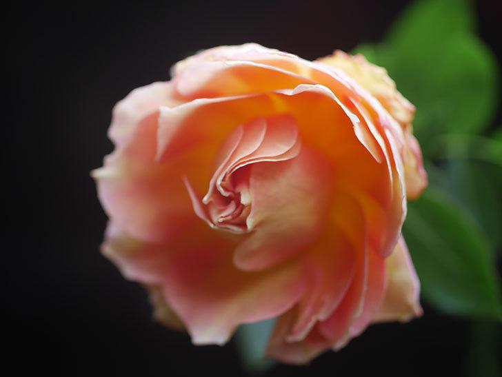 ラ・パリジェンヌ(La Parisienne)の新苗に秋花が咲いた。木立バラ。2020年-011.jpg