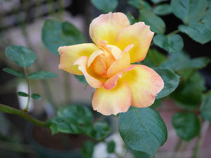 ラ・パリジェンヌ(La Parisienne)の新苗に秋花またが咲いた。木立バラ。2020年-001.jpg