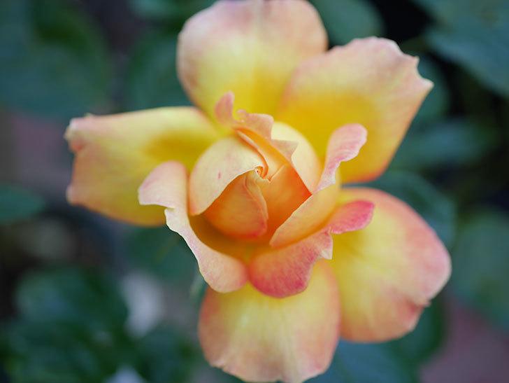 ラ・パリジェンヌ(La Parisienne)の新苗に秋花またが咲いた。木立バラ。2020年-004.jpg