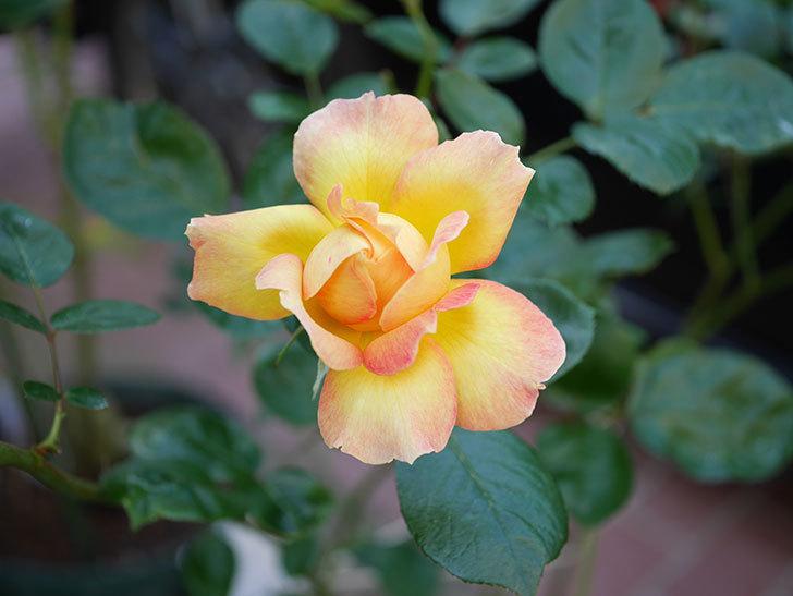 ラ・パリジェンヌ(La Parisienne)の新苗に秋花またが咲いた。木立バラ。2020年-006.jpg