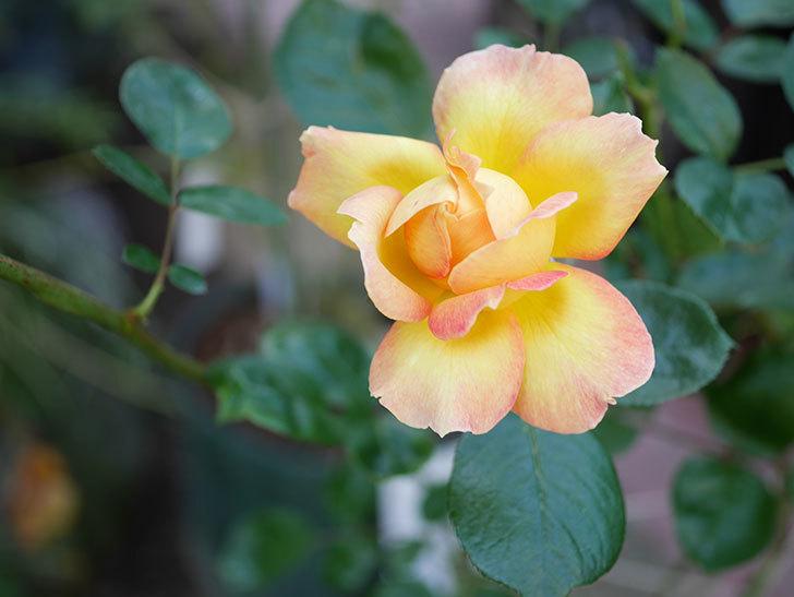 ラ・パリジェンヌ(La Parisienne)の新苗に秋花またが咲いた。木立バラ。2020年-012.jpg