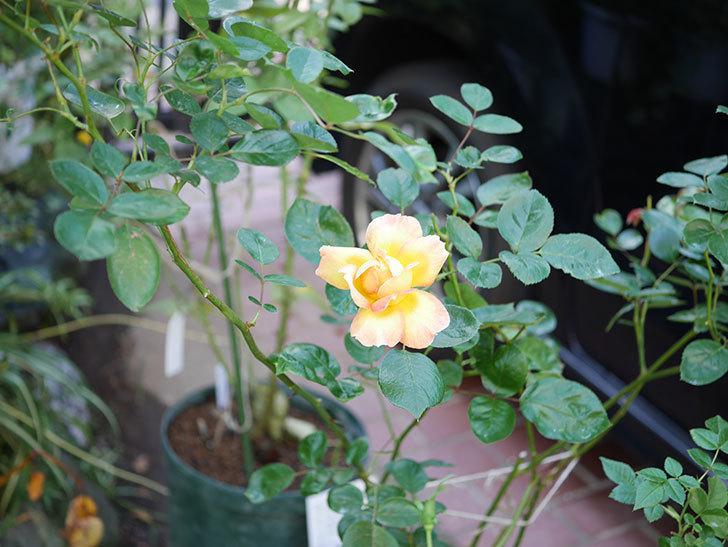 ラ・パリジェンヌ(La Parisienne)の新苗に秋花またが咲いた。木立バラ。2020年-013.jpg