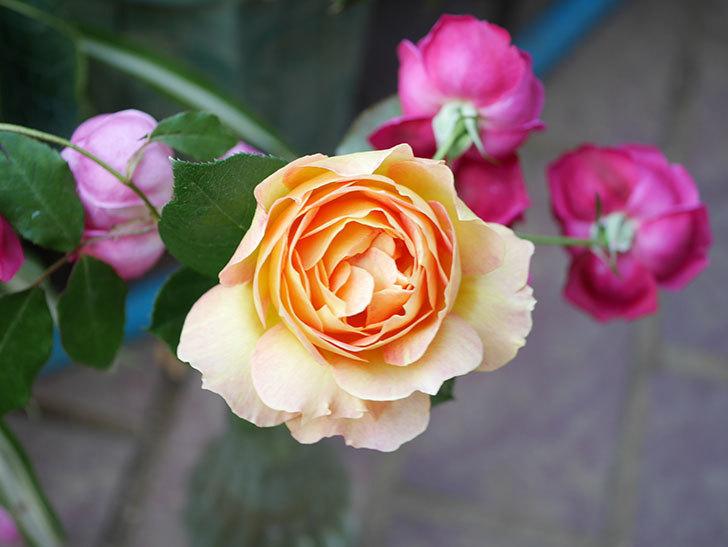 ラ・パリジェンヌ(La Parisienne)の新苗に秋花またが咲いた。木立バラ。2020年-015.jpg