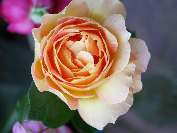 ラ・パリジェンヌ(La Parisienne)の新苗に秋花またが咲いた。木立バラ。2020年-016.jpg