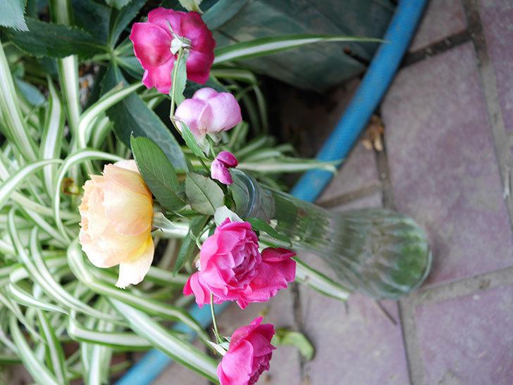 ラ・パリジェンヌ(La Parisienne)の新苗に秋花またが咲いた。木立バラ。2020年-018.jpg