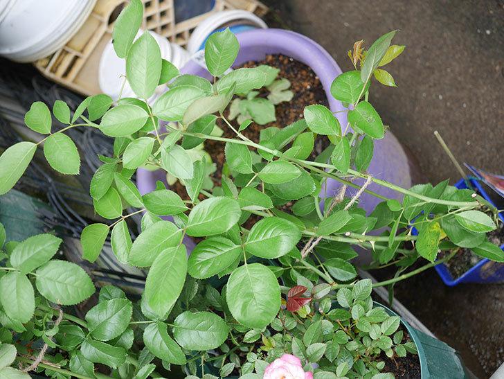 ラ・パリジェンヌ(La Parisienne)の新苗を6号ロングスリット鉢に植え換えた。2020年-001.jpg
