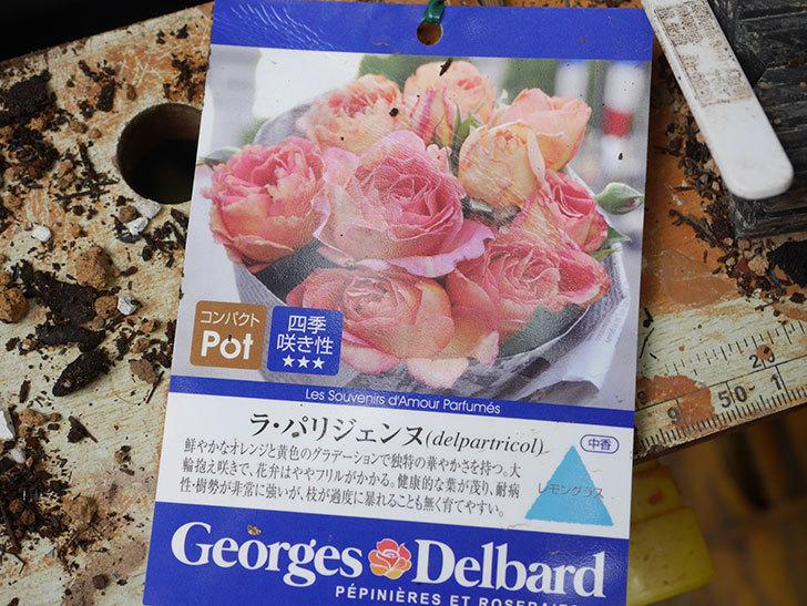 ラ・パリジェンヌ(La Parisienne)の新苗を6号ロングスリット鉢に植え換えた。2020年-002.jpg
