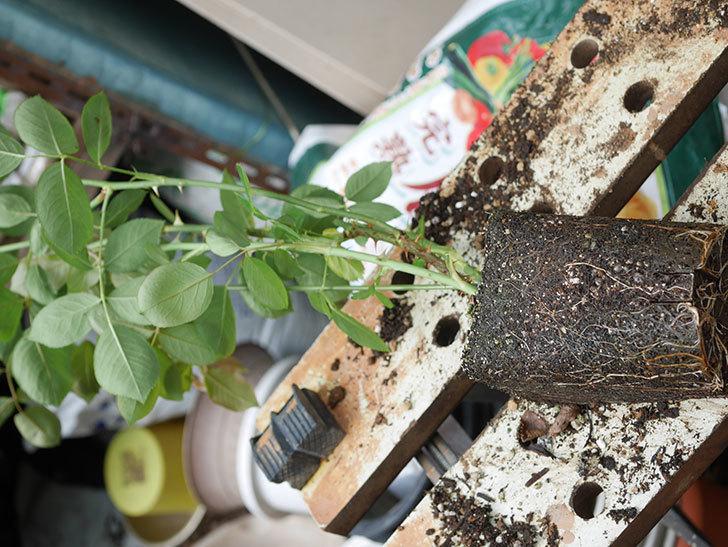 ラ・パリジェンヌ(La Parisienne)の新苗を6号ロングスリット鉢に植え換えた。2020年-004.jpg