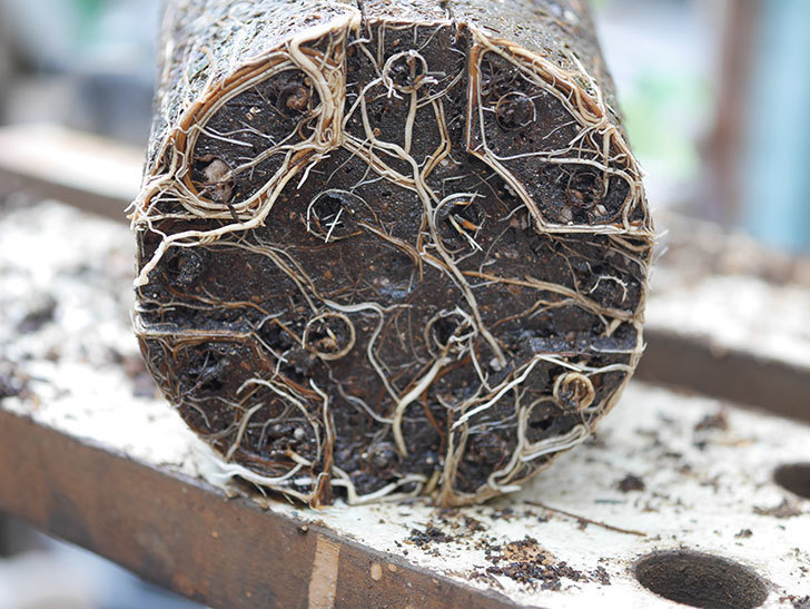 ラ・パリジェンヌ(La Parisienne)の新苗を6号ロングスリット鉢に植え換えた。2020年-006.jpg