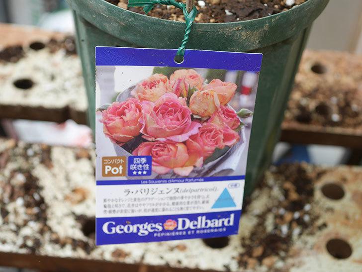 ラ・パリジェンヌ(La Parisienne)の新苗を6号ロングスリット鉢に植え換えた。2020年-008.jpg
