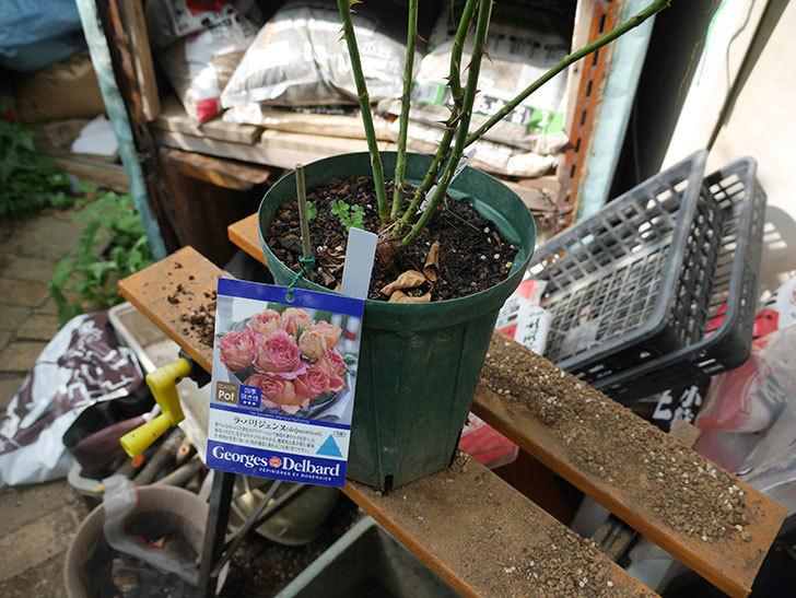 ラ・パリジェンヌ(La Parisienne)の新苗を8号ロングスリット鉢に植え換えた。2020年-001.jpg