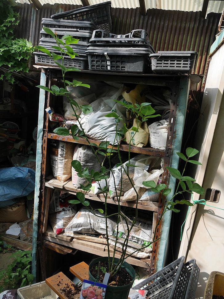 ラ・パリジェンヌ(La Parisienne)の新苗を8号ロングスリット鉢に植え換えた。2020年-002.jpg