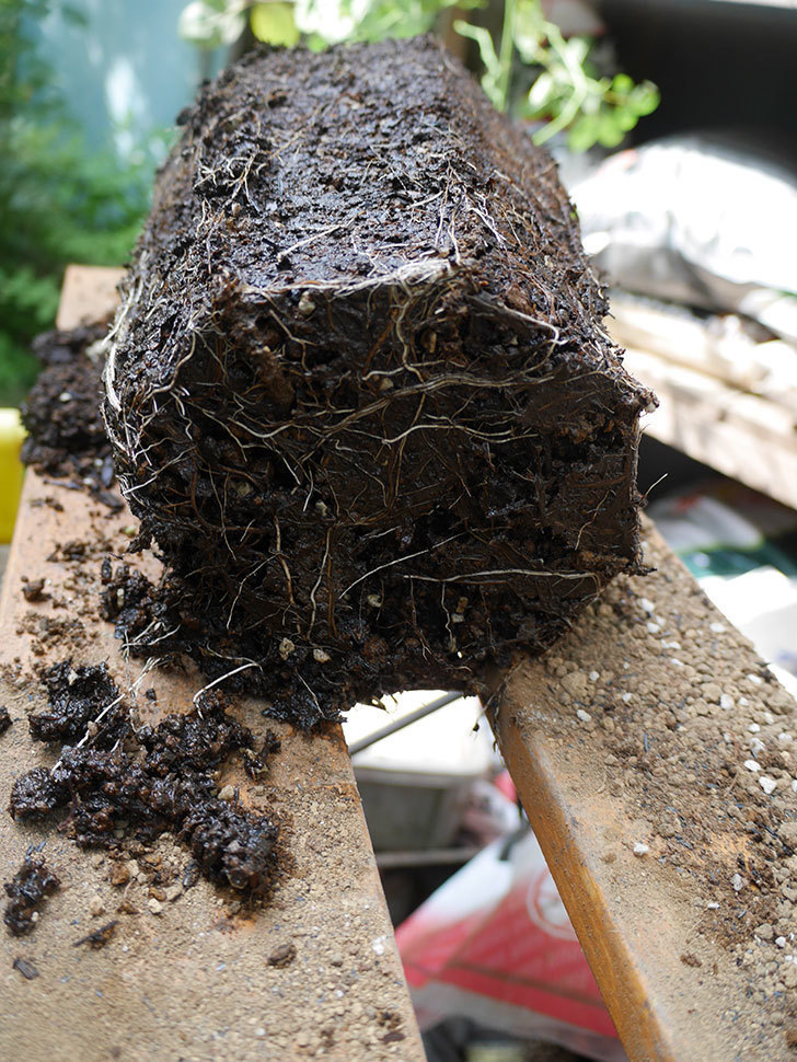 ラ・パリジェンヌ(La Parisienne)の新苗を8号ロングスリット鉢に植え換えた。2020年-004.jpg