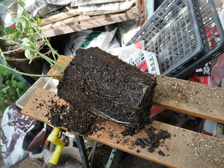 ラ・パリジェンヌ(La Parisienne)の新苗を8号ロングスリット鉢に植え換えた。2020年-006.jpg