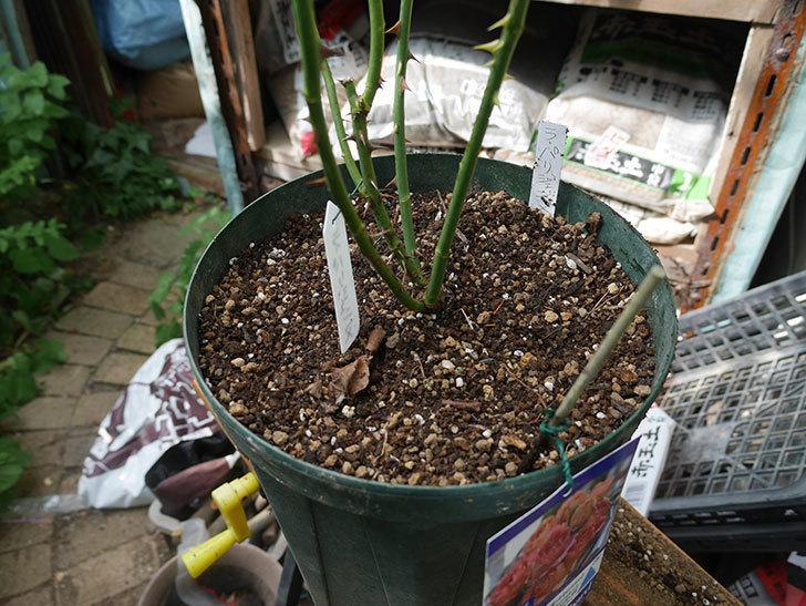 ラ・パリジェンヌ(La Parisienne)の新苗を8号ロングスリット鉢に植え換えた。2020年-007.jpg